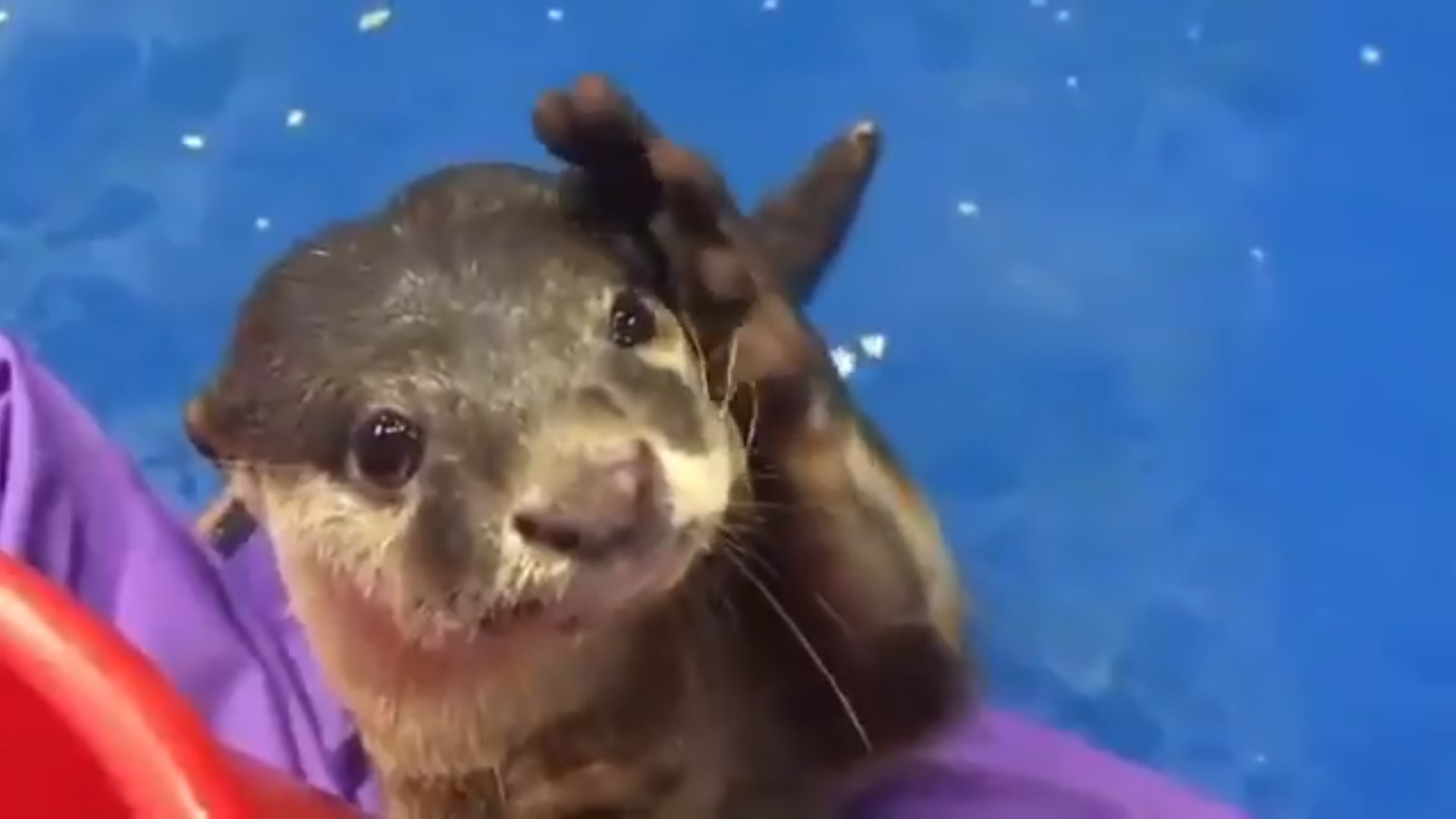 Otter shows where to pet on head